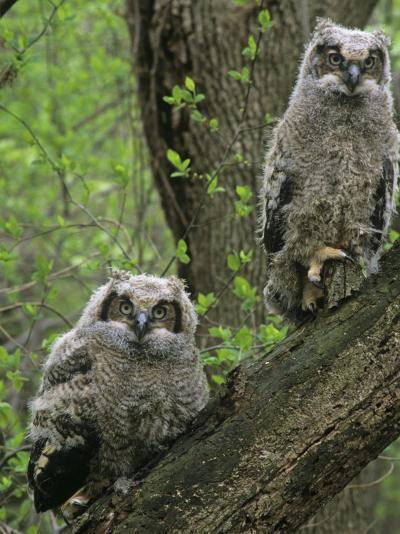 Young Great Horned Owls, Bubo Virginianus, . North America-Gary Meszaros-Photographic Print