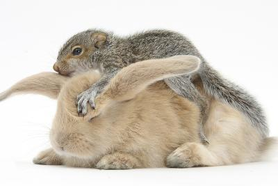 Young Grey Squirrel and Sandy Rabbit-Mark Taylor-Photographic Print