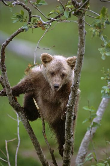 Young Grizzly Bear Cub Climbing in Tree Alaska Wildlife Conservation Center Sc Alaska Captive-Design Pics Inc-Photographic Print