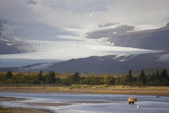Young Grizzly Fishing at Hallo Bay, Katmai National Park, Alasaka-Design Pics Inc-Photographic Print