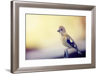 Young Grosbeak-Roberta Murray-Framed Photographic Print