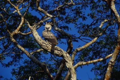 Young Harpy Eagle Perched in Tree-W^ Perry Conway-Photographic Print