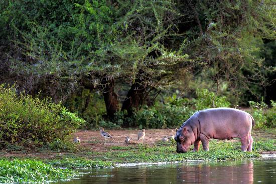Young Hippo Feeding on River Bank; Hippopotamus Amphibius-Johan Swanepoel-Photographic Print