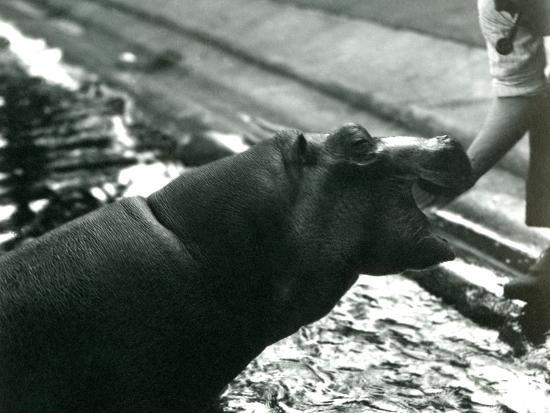 Young Hippopotamus 'Bobbie' with a Keeper at London Zoo, September 1920-Frederick William Bond-Photographic Print