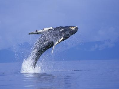 Young Humpback Whale Breaching in Frederick Sound-Paul Souders-Photographic Print