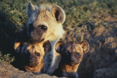 Young Hyenas in Den-DLILLC-Photographic Print