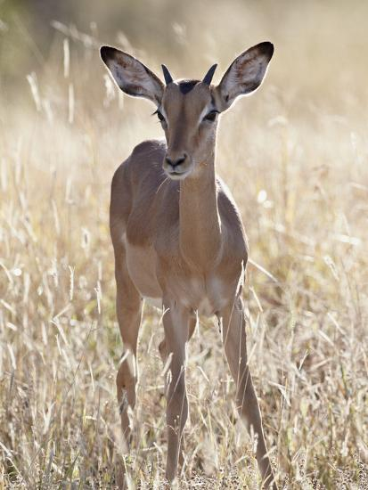 Young Impala (Aepyceros Melampus) Buck, Kruger National Park, South Africa, Africa-James Hager-Photographic Print