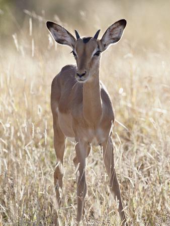 https://imgc.artprintimages.com/img/print/young-impala-aepyceros-melampus-buck-kruger-national-park-south-africa-africa_u-l-pfu8qu0.jpg?p=0