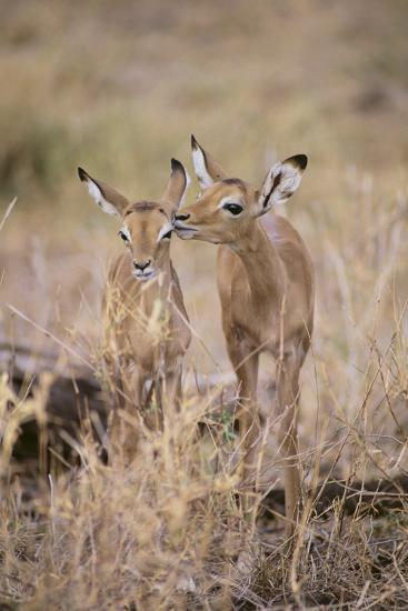 Young Impala Friends Nuzzling-DLILLC-Photographic Print