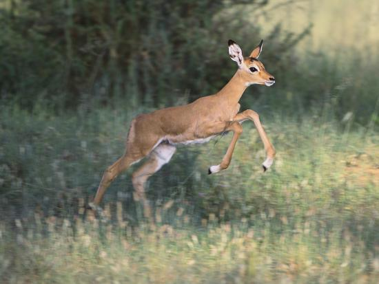 Young Impala-DLILLC-Photographic Print