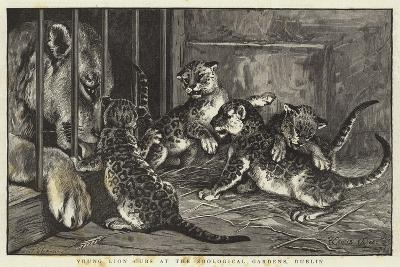 Young Lion Cubs at the Zoological Gardens, Dublin--Giclee Print
