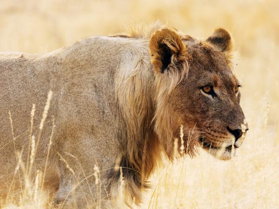 Young lion , Kgalagadi Transfrontier Park, Kalahari, Northern Cape, South Africa, Africa-Christian Kober-Photographic Print