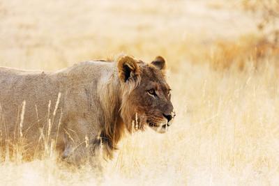 https://imgc.artprintimages.com/img/print/young-lion-kgalagadi-transfrontier-park-kalahari-northern-cape-south-africa-africa_u-l-q1bofc60.jpg?p=0