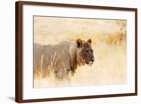 Young lion , Kgalagadi Transfrontier Park, Kalahari, Northern Cape, South Africa, Africa-Christian Kober-Framed Photographic Print