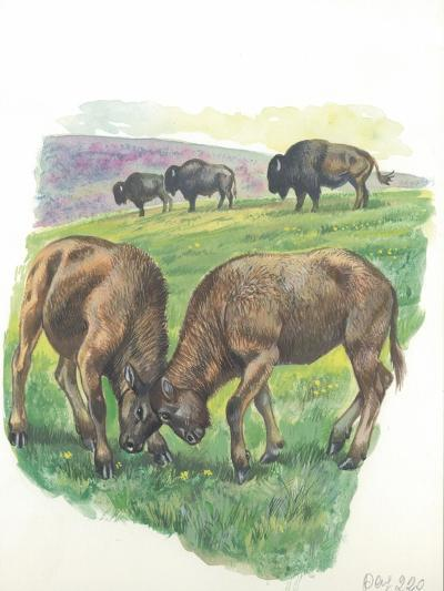 Young Male American Bison Bison Bison Fighting--Giclee Print