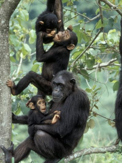 Young Male Chimpanzees Play, Gombe National Park, Tanzania-Kristin Mosher-Photographic Print