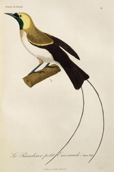 Young Male of Lesser Bird-Of-Paradise (Paradisaea Minor)--Giclee Print