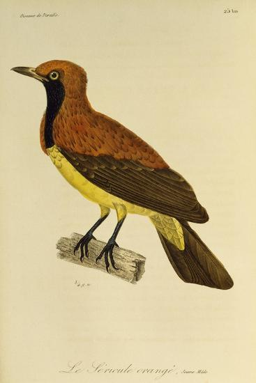 Young Male of Masked Bowerbird (Sericulus Aureus)--Giclee Print