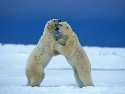 Young Male Polar Bears Spar with One Another-Norbert Rosing-Photographic Print