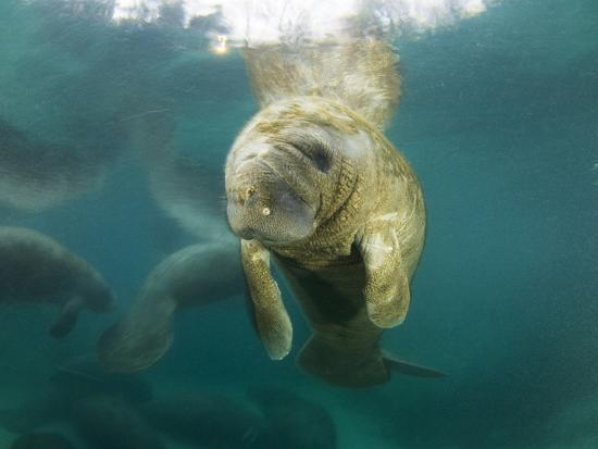 Young Manatees Rest Just under the Surface of the Water-Mauricio Handler-Photographic Print