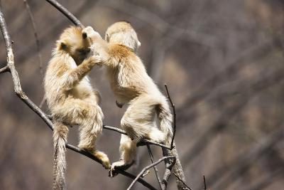 Young Monkeys, Golden Snub-Nosed Monkeys, Rhinopithecus Roxellana, Tree, Branches, Hang, Play-Frank Lukasseck-Photographic Print