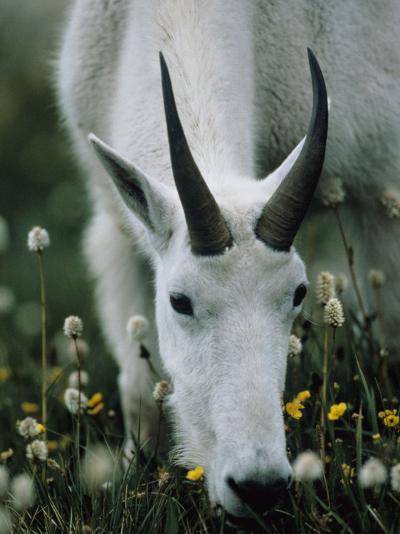 Young mountain goat eats alpine flowers, Mount Evans, Colorado, North America-Jeff Foott-Photographic Print