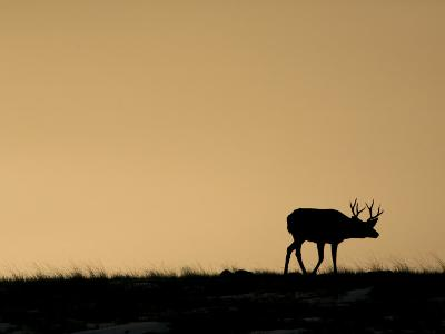 Young Mule Deer Buck Chases a Doe in the Evening Hours in Wyoming-Drew Rush-Photographic Print