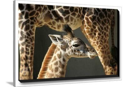Young One-Michael Cahill-Stretched Canvas Print