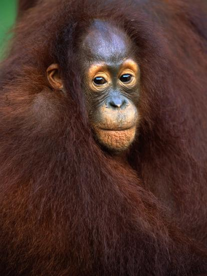Young Orangutan in Mother's Arm-Theo Allofs-Photographic Print