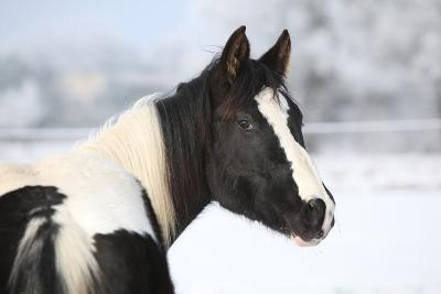 Young Paint Horse Mare in Winter-Zuzule-Photographic Print