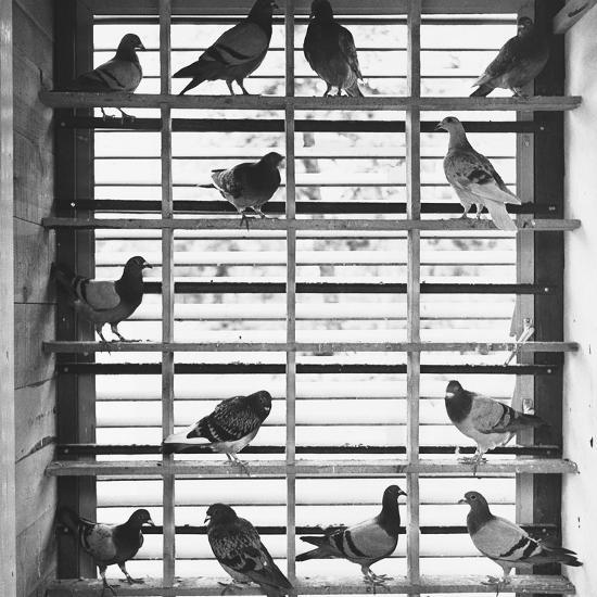 Young Pigeons in a Loft--Photographic Print