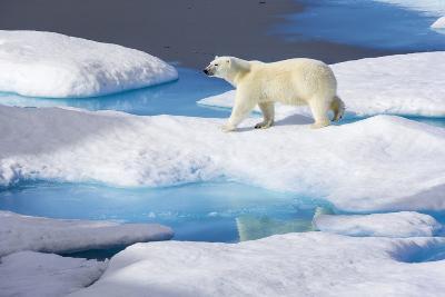 Young Polar Bear (Ursus Maritimus) Walking across Melting Sea Ice-Brent Stephenson-Photographic Print