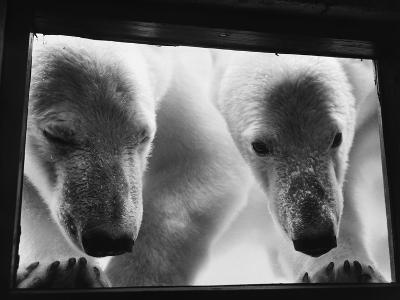 Young Polar Bears at Pool Window--Photographic Print