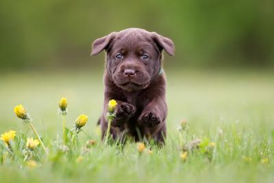 Young Puppy of Brown Labrador Retriever Dog Photographed Outdoors on Grass in Garden.-Mikkel Bigandt-Photographic Print