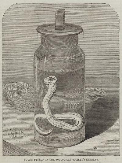 Young Python in the Zoological Society's Gardens--Giclee Print