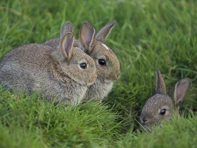 Young Rabbits (Oryctolagus Cuniculas), Outside Burrow, Teesdale, County Durham, England-Steve & Ann Toon-Photographic Print