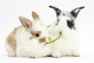 Young Rabbits Sharing a Blade of Grass-Mark Taylor-Photographic Print