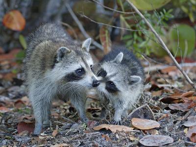 Young Raccoon Kissing Adult, Ding Darling National Wildlife Refuge, Sanibel, Florida, USA-Arthur Morris-Photographic Print