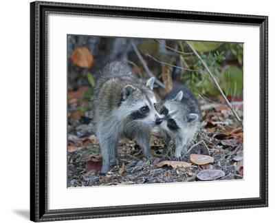 Young Raccoon Kissing Adult, Ding Darling National Wildlife Refuge, Sanibel, Florida, USA-Arthur Morris-Framed Photographic Print