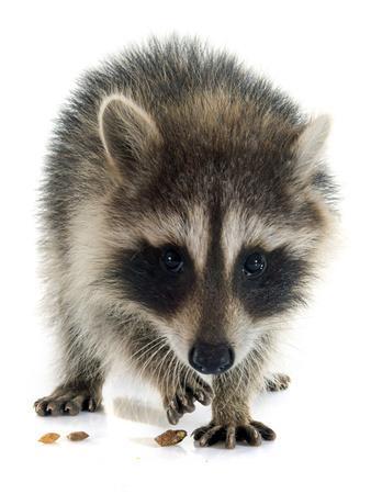 https://imgc.artprintimages.com/img/print/young-raccoon_u-l-q105oie0.jpg?p=0