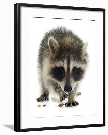 Young Raccoon-cynoclub-Framed Photographic Print
