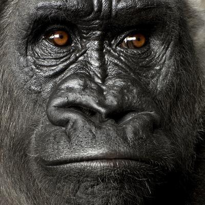 Young Silverback Gorilla in Front of a White Background-Eric Isselee-Photographic Print