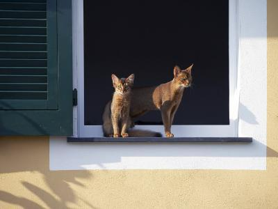 Young Somali Cat and Abyssinian Cat Sitting on Window Ledge, Italy-Adriano Bacchella-Photographic Print