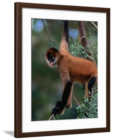 Young Spider Monkey Hanging from Tree in the Curu Biological Reserve, San Jose, Costa Rica-Ralph Lee Hopkins-Framed Photographic Print