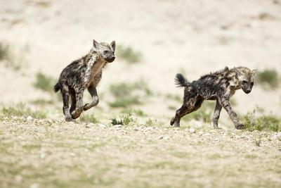 Young Spotted Hyenas-Richard Du Toit-Photographic Print