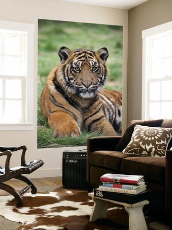 https://imgc.artprintimages.com/img/print/young-tiger_u-l-pfgzwy0.jpg?p=0