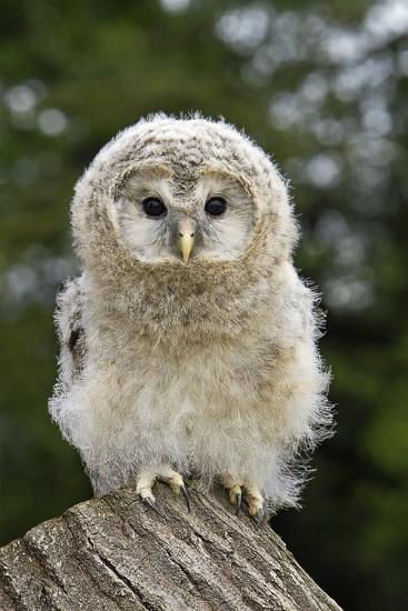 Young Ural Owl-Linda Wright-Photographic Print