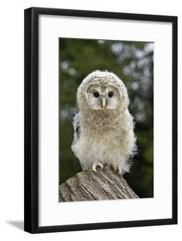 Young Ural Owl-Linda Wright-Framed Photographic Print