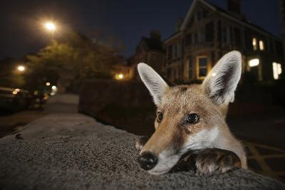 Young Urban Red Fox (Vulpes Vulpes) Poking its Head Up over a Wall. Bristol, UK, August-Sam Hobson-Photographic Print