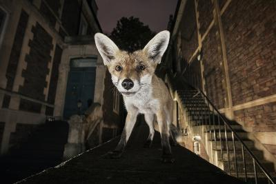 Young Urban Red Fox (Vulpes Vulpes) Standing on a Wall at Night-Sam Hobson-Photographic Print